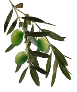 http://www.dreamstime.com/stock-photo-olive-branch-image21682000