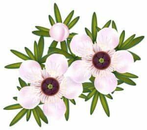 http://www.dreamstime.com/stock-images-manuka-tea-tree-just-leptospermum-image20191014